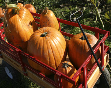 Pumpkin Picking Guide