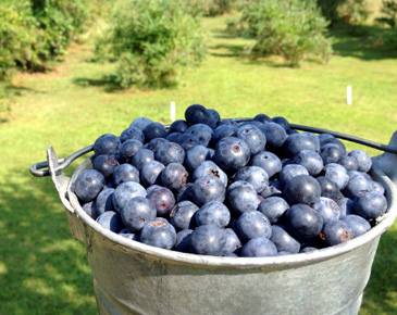 Bellevue U-Pick Blueberry Farms | Bellevue.com