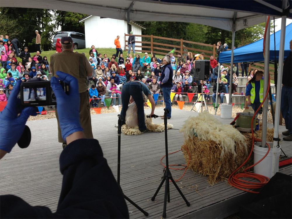 Sheep Shearing at Kelsey Creek Park | Bellevue.com